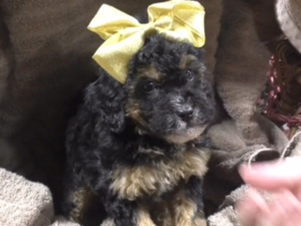 Toy Goldendoodle female 8600