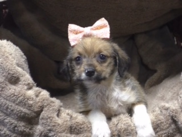 Miniature Aussiedoodle female 7124