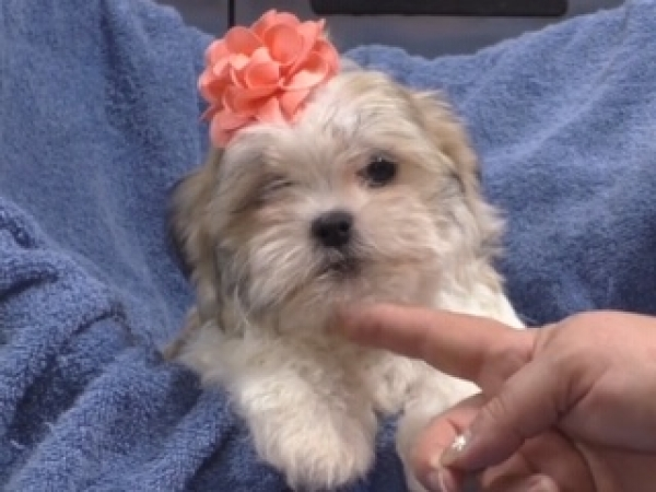Shichon (Teddy Bear) female 1010
