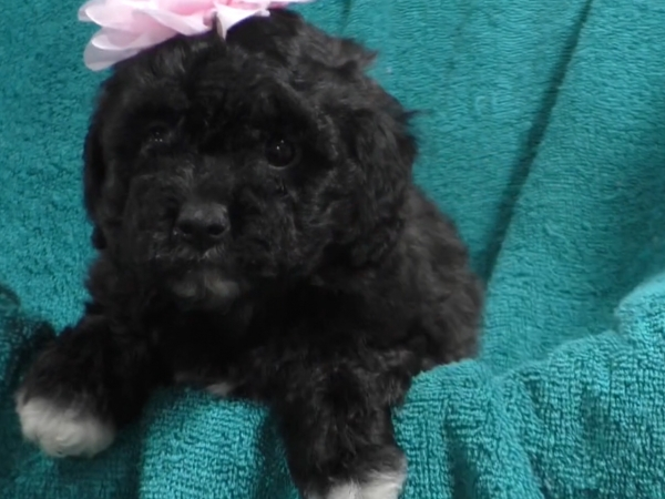 Cavapoo female 1996