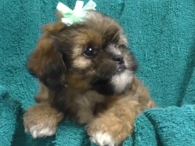Shihpoo female 1986