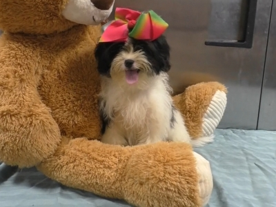 Shichon Teddy Bear female 5922