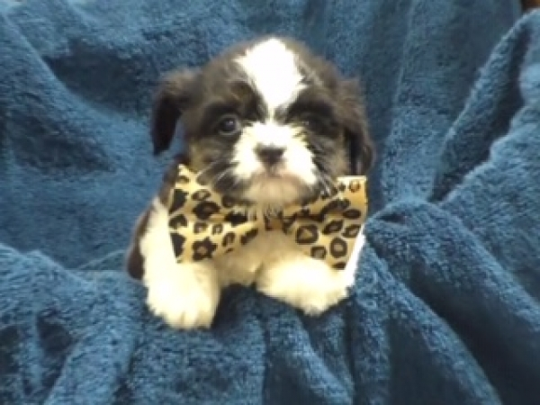 Toy Yorkiepoo female 0640